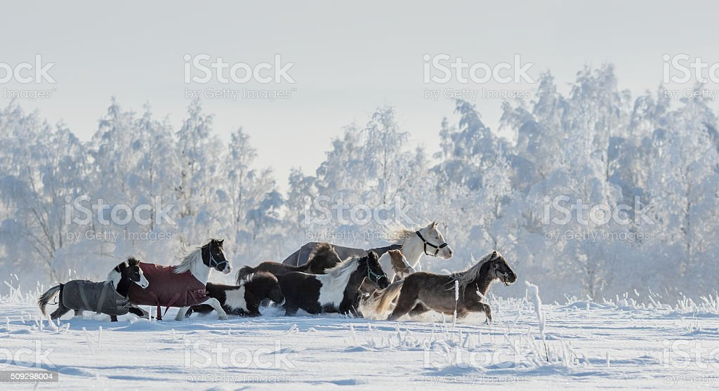 Herd of ponies and miniature horses on snowfield stock photo