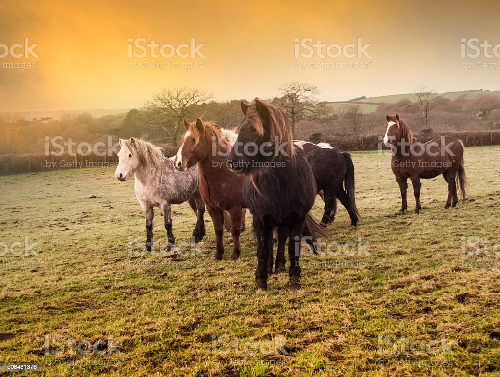Herd of ponies, south wales, Uk stock photo
