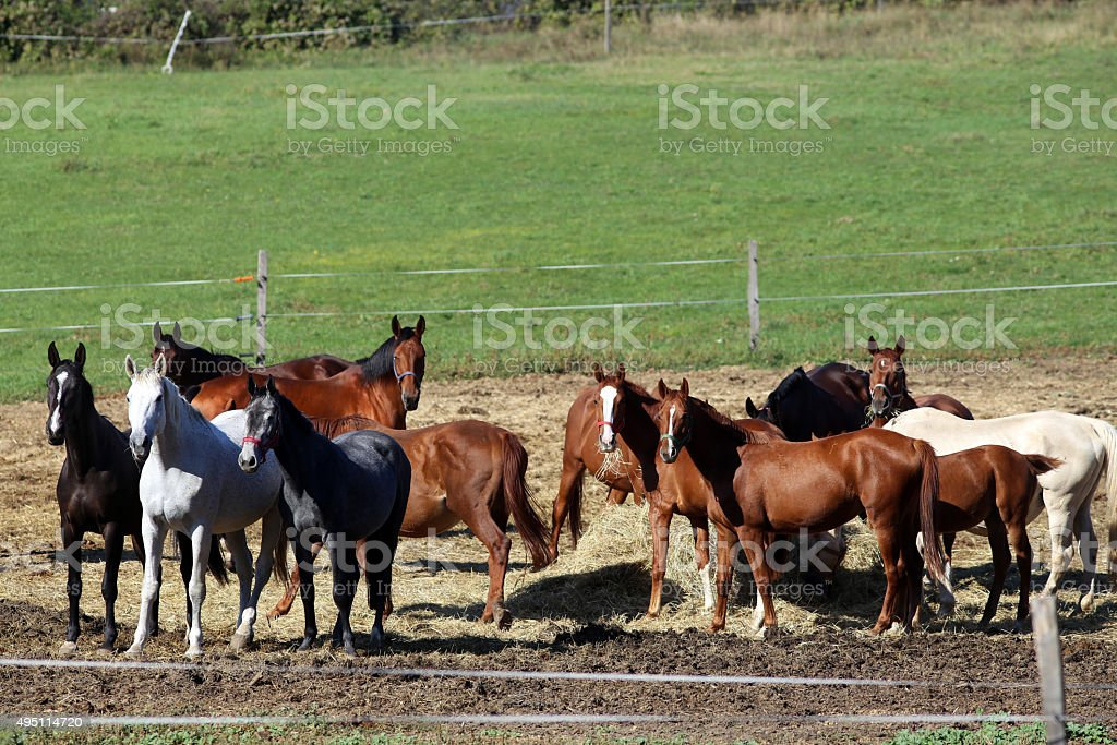Herd of purebred brood mares eating hay in summer corral stock photo