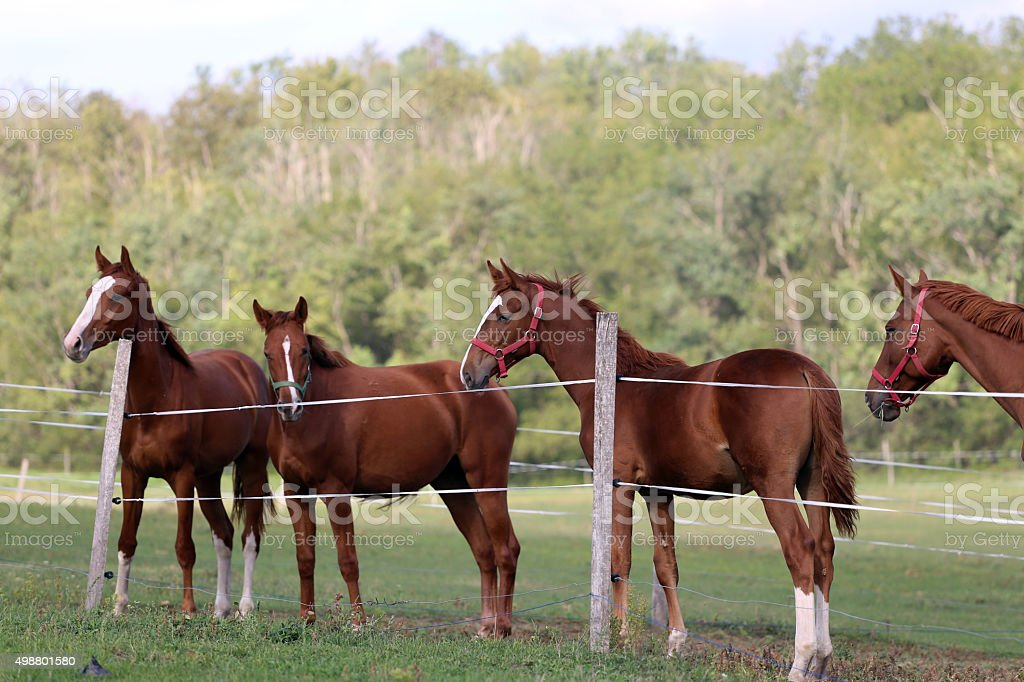 Herd of purebred chestnut horses grazing on meadow stock photo