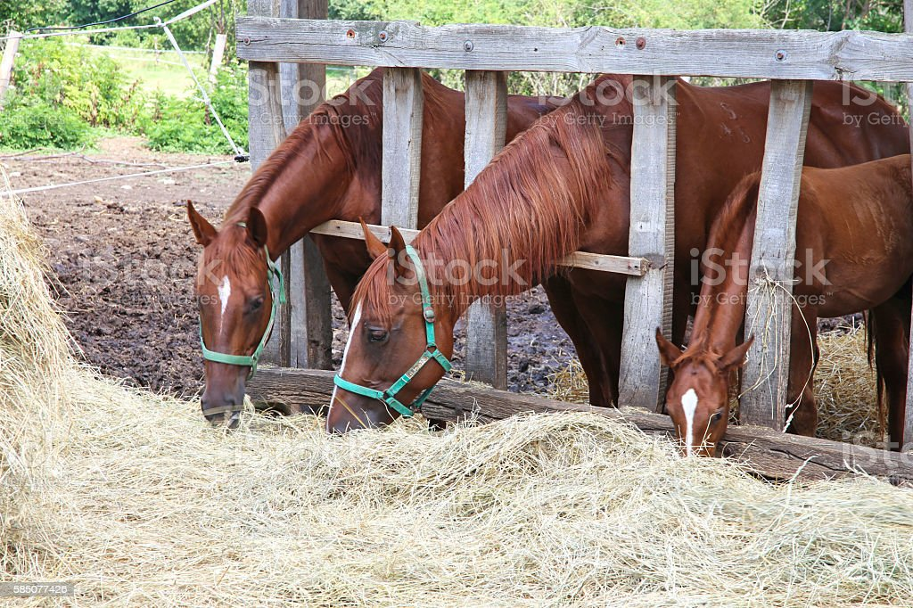 Herd of purebred gidran horses sharing hay on farm stock photo