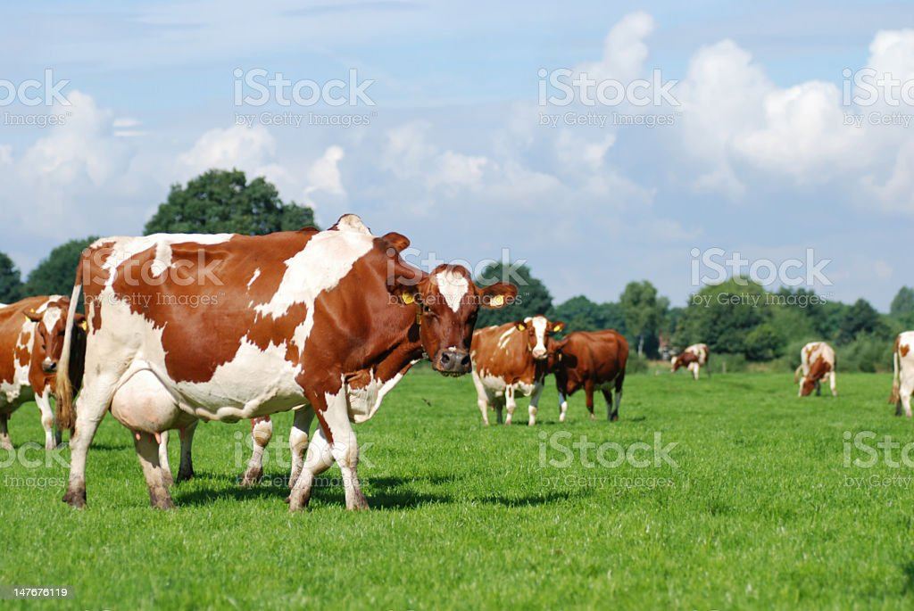 Herd of red Holstein mollted cows stading in a pasture. stock photo