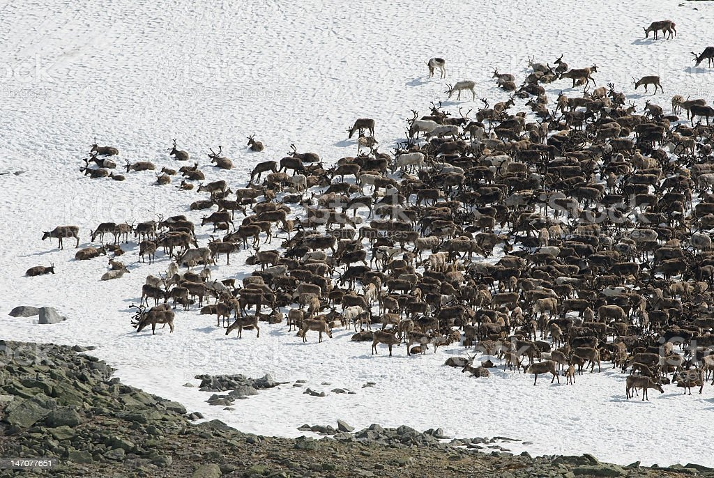 Herd of reindeers together in the snow royalty-free stock photo