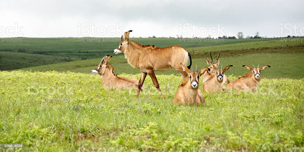 Herd of Roan Antelope on the Hills of Nyika Plateau stock photo