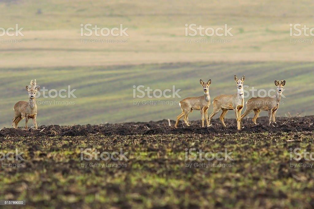herd of roe deers on agricultural field stock photo