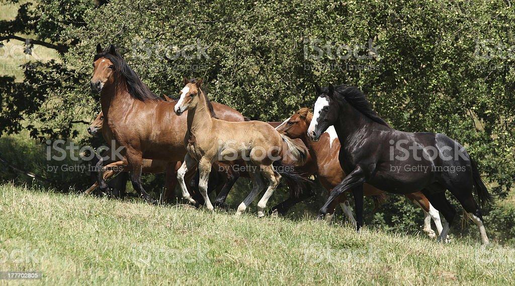 Herd of running horses stock photo