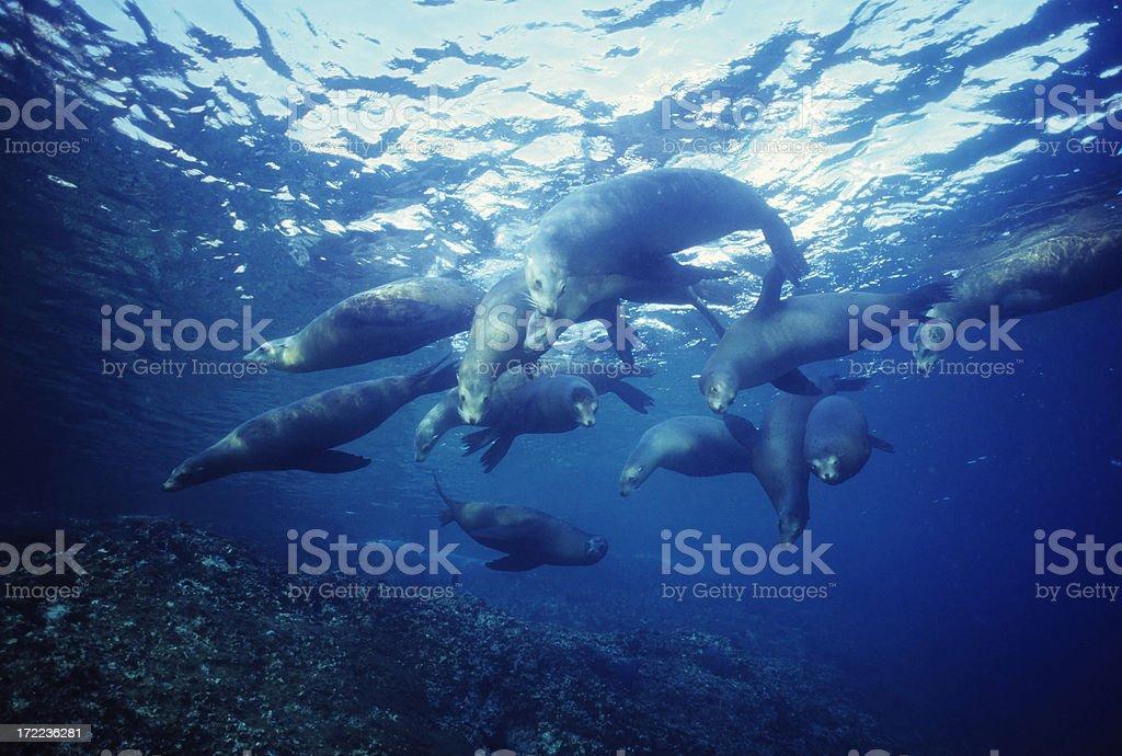 Herd Of Sealions stock photo