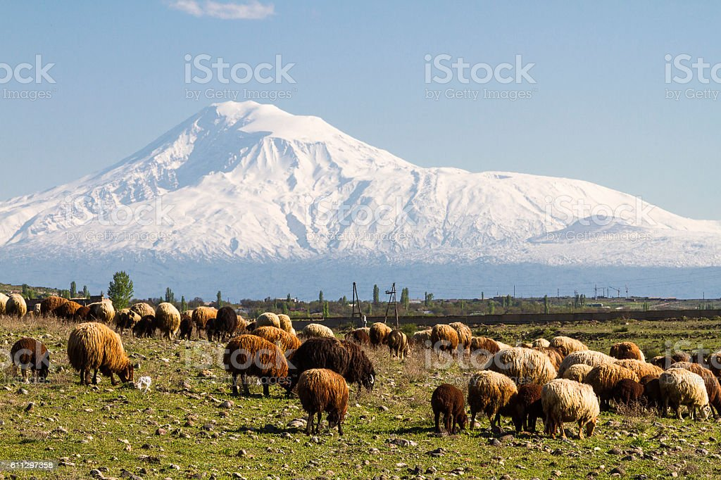 Herd of sheep and Mount Ararat in Armenia stock photo