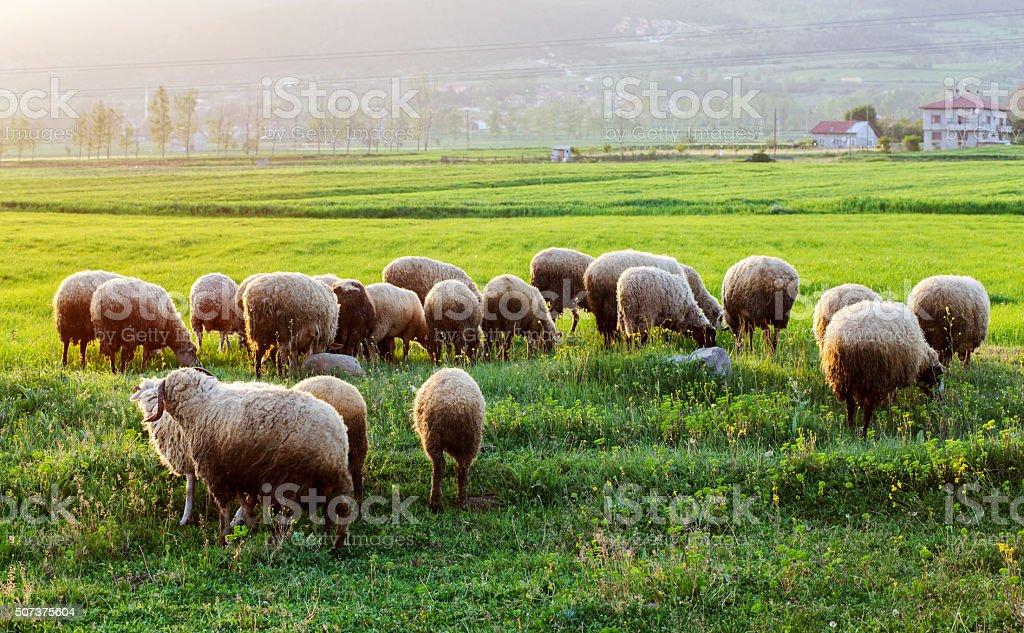 Herd of sheep grazing in an open field stock photo