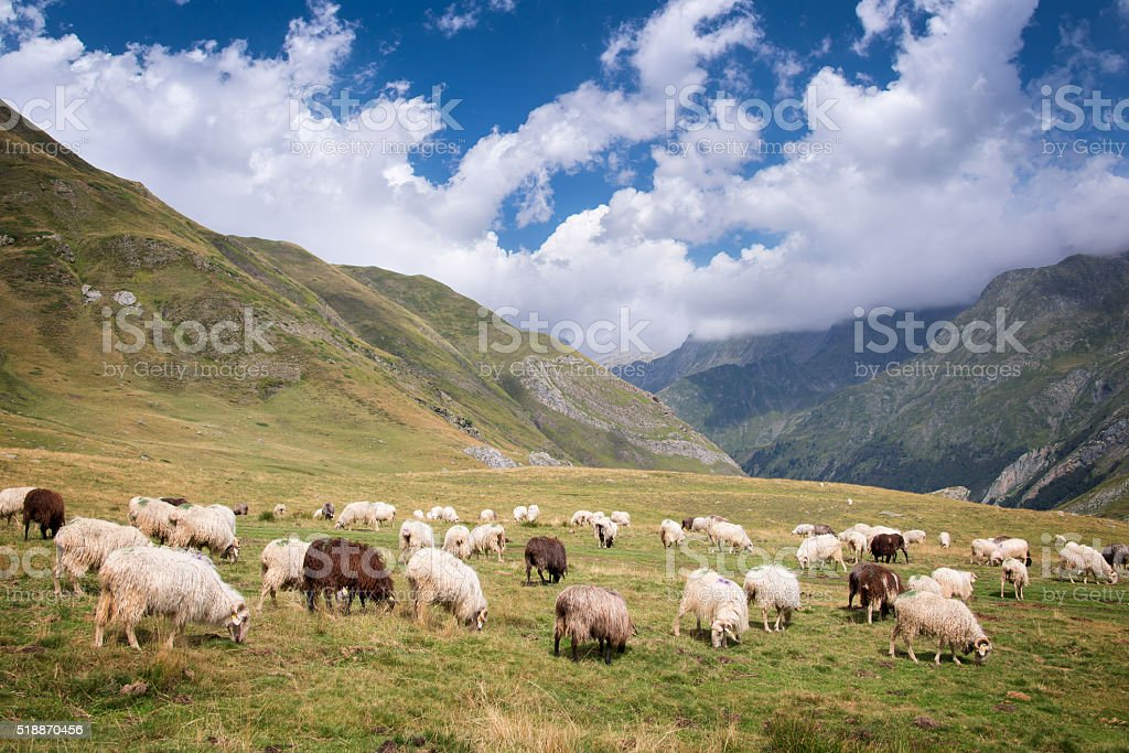 Herd of sheep grazing in the Pyrenees, France stock photo