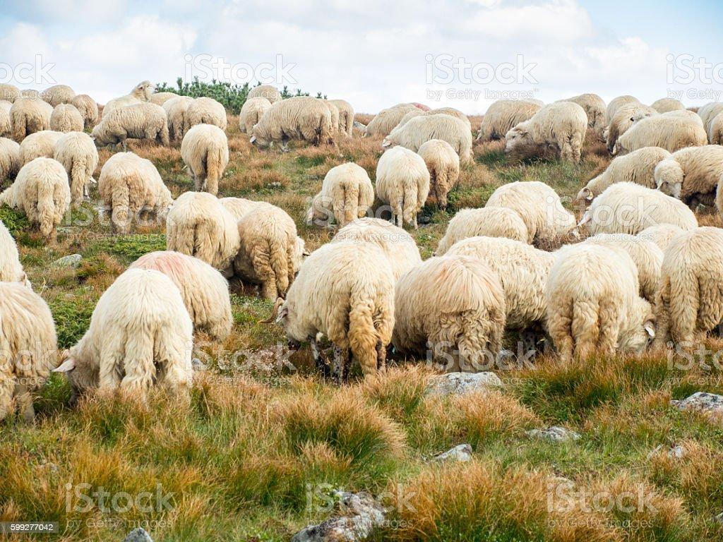 herd of sheep grazing on an alpine meadow stock photo