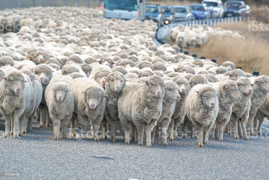 Herd of sheep in the street blocking cars trying to drive stock photo