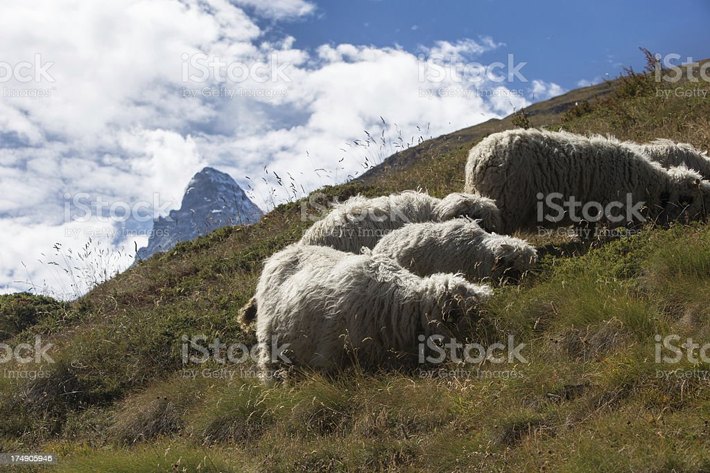 Herd of sheep in the Swiss Alps royalty-free stock photo