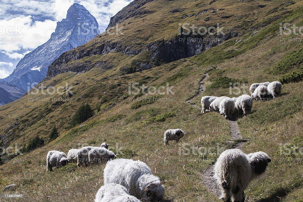 Herd of sheep in the Swiss Alps stock photo