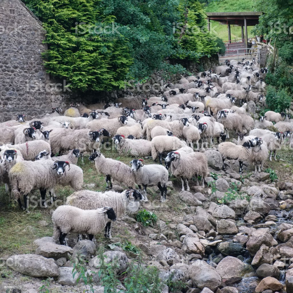 Herd of sheep in the Yorkshire Dales, England. stock photo