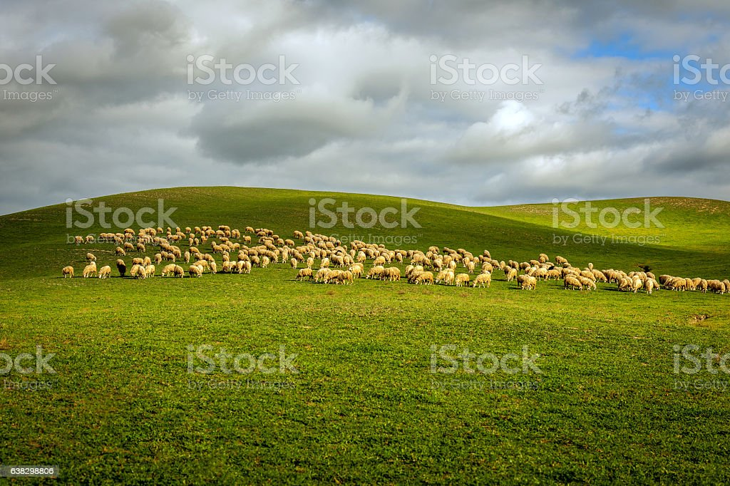 Herd of sheep on a Tuscan fields in Tuscany, Italy stock photo