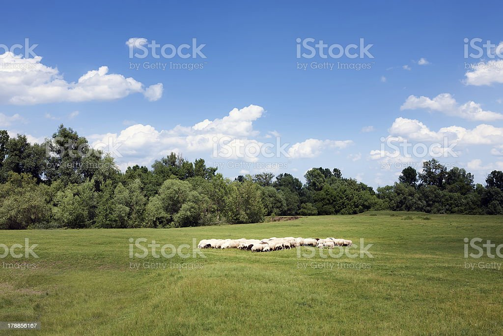Herd of sheep on beautiful meadow royalty-free stock photo