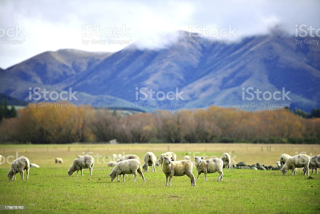 Herd of sheep on green meadow stock photo