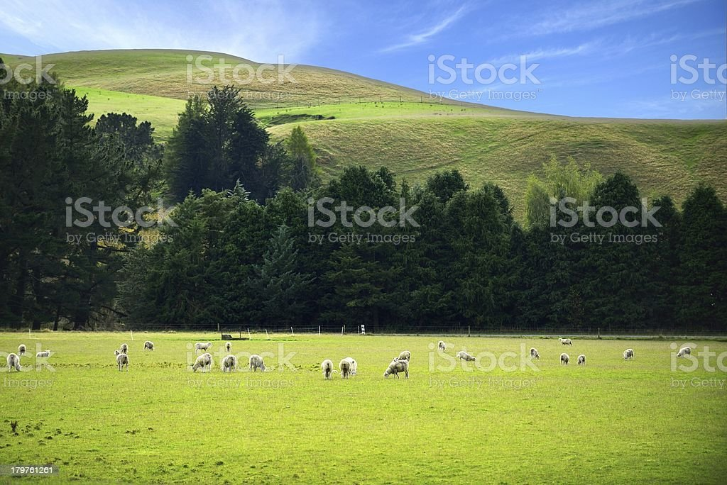 Herd of sheep on green mountains meadow royalty-free stock photo