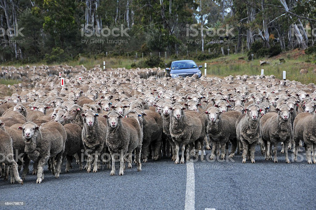 Herd of sheep on road creating a traffiic jam stock photo