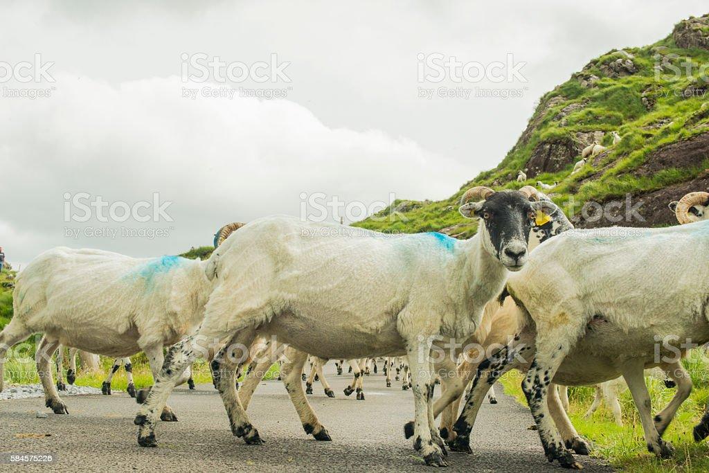 Herd of sheep on road in Kerry, Ireland stock photo