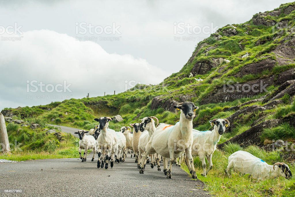 Herd of sheep on road in Kerry, Ireland stock photo