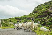 Herd of sheep on road in Kerry, Ireland