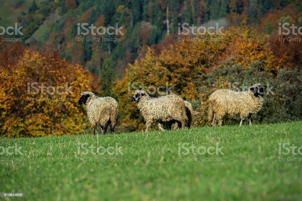 Herd of Sheep stock photo