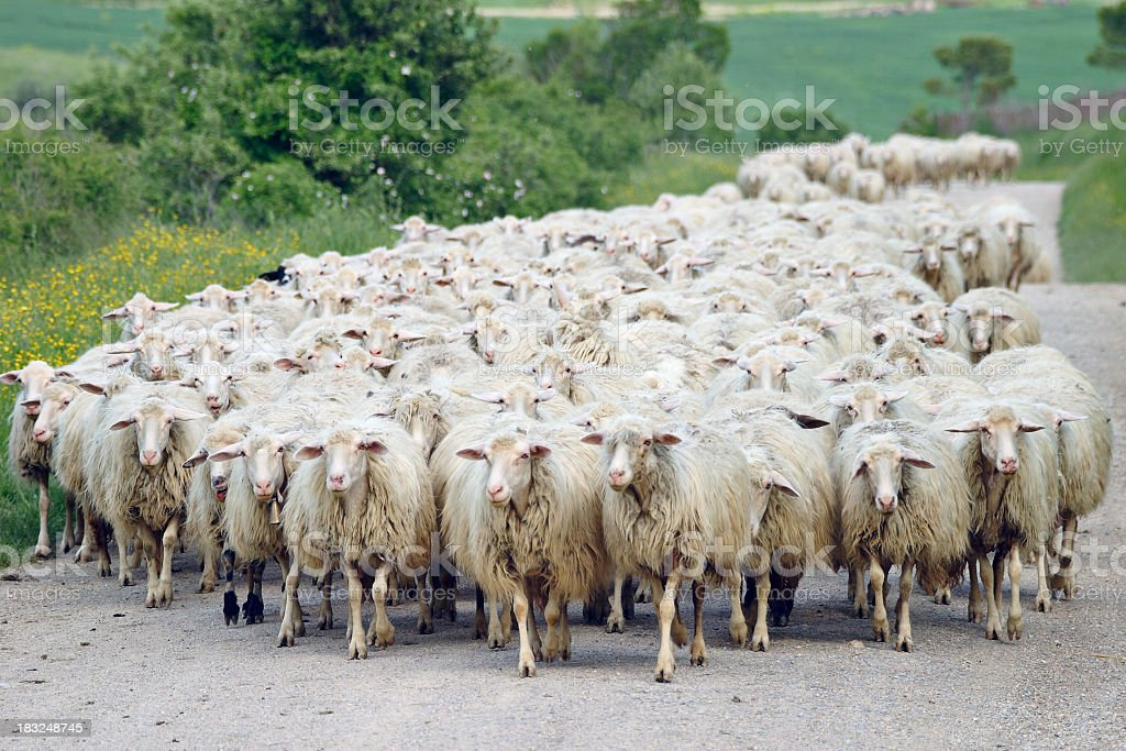 Herd of sheep walking on country road stock photo