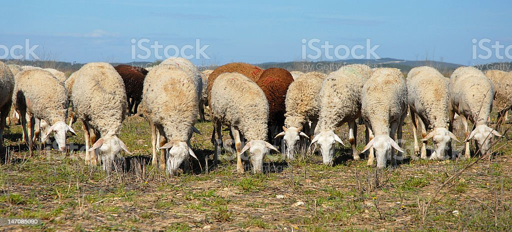 herd of sheeps royalty-free stock photo