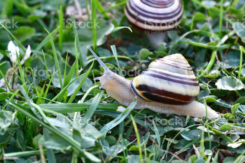 herd of snails walking on the grass stock photo