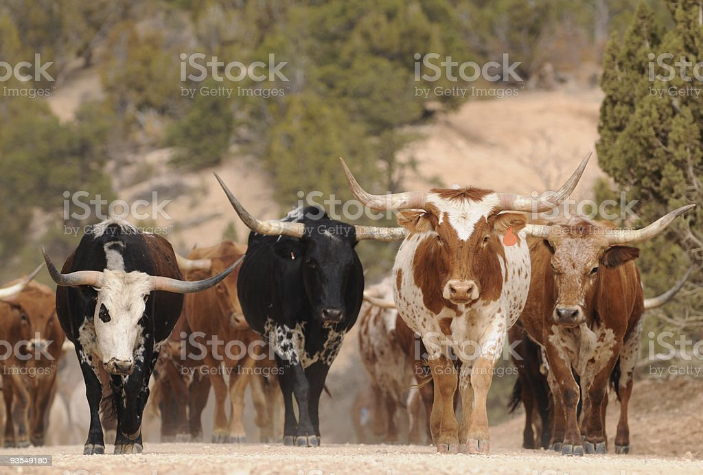 Herd of Texas Longhorn cattle in southern Utah mountains stock photo