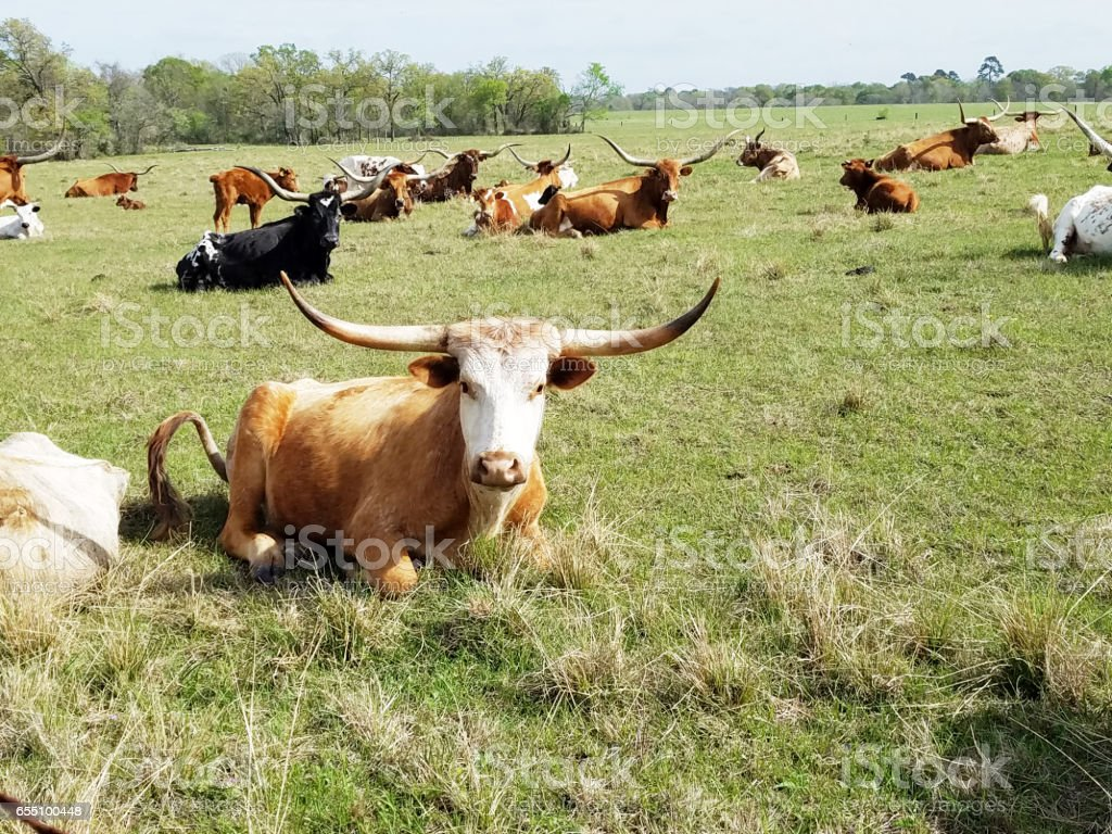 Herd of Texas Longhorn cattle resting in pasture. stock photo