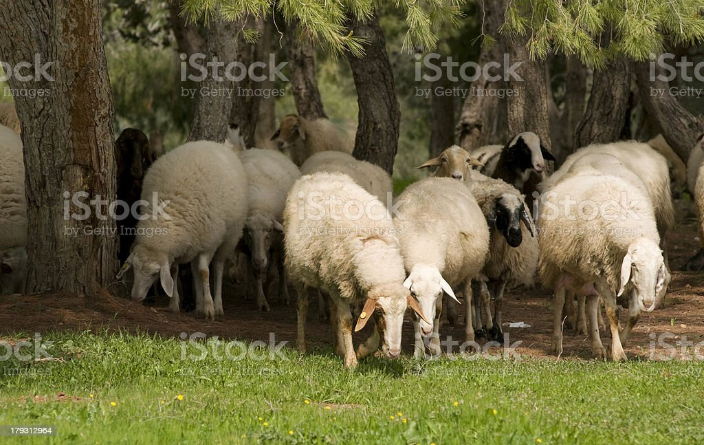 Herd of the sheeps royalty-free stock photo