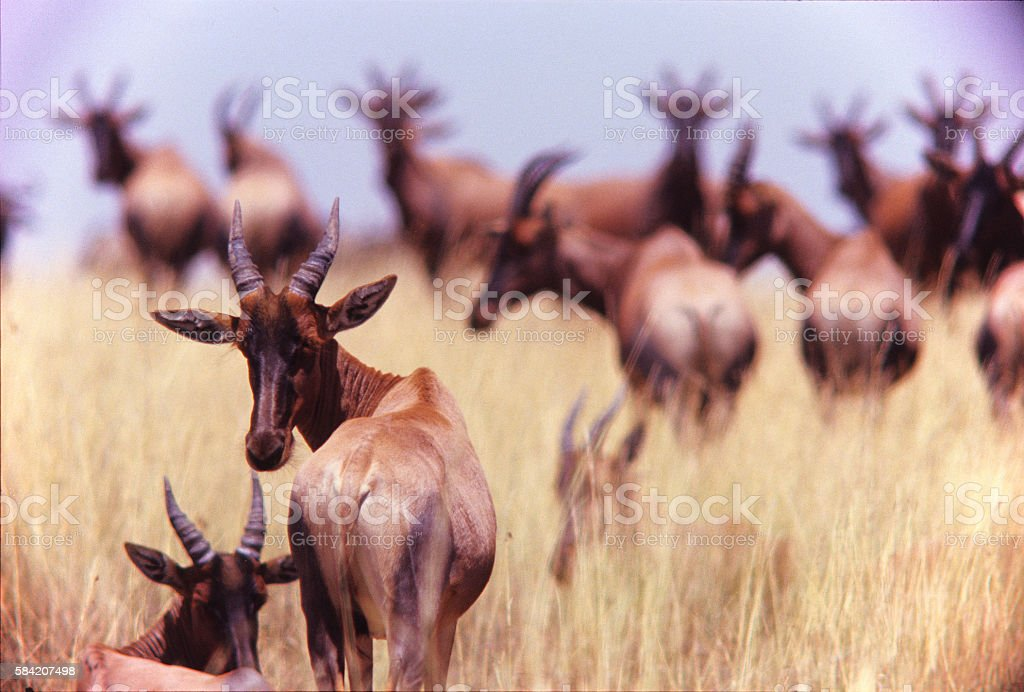 Herd of topis at Masai Mara game Reserve, Kenya stock photo
