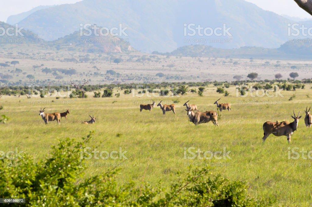 Herd of topis grazing stock photo