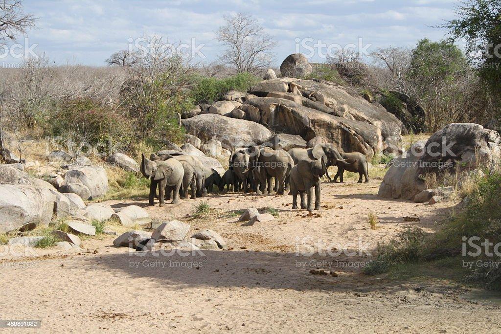 herd of trumpeting elephants stock photo