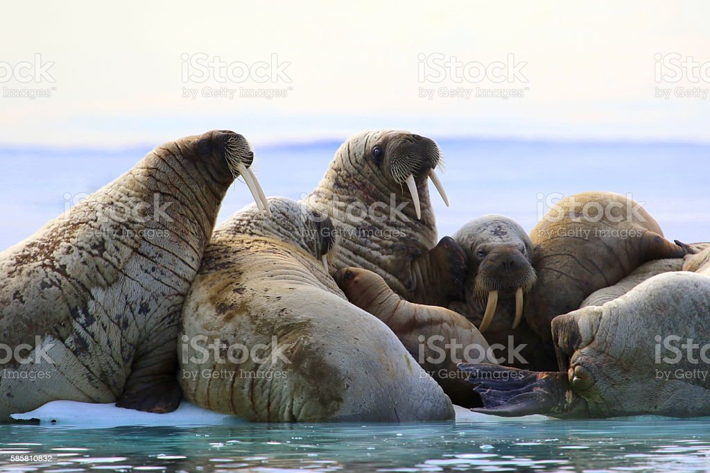 Herd of walruses on ice floe stock photo