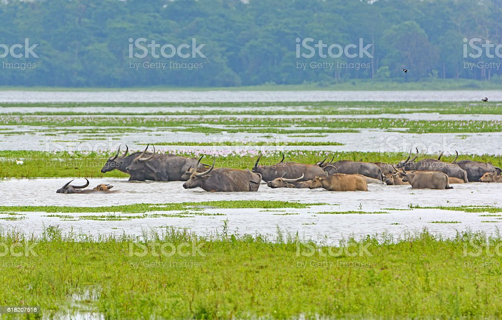 Herd of Water Buffalo Crossing a River stock photo