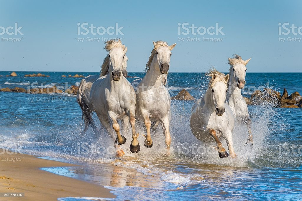 Herd of White Camargue Horses fast running stock photo