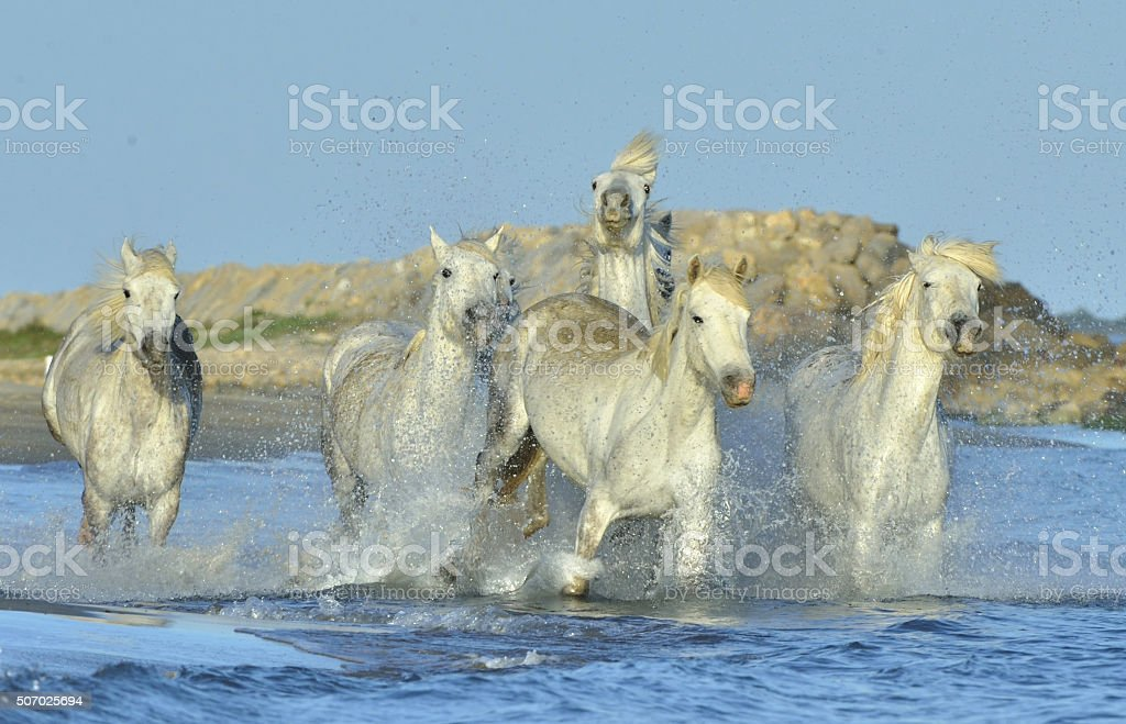 Herd of White Camargue Horses stock photo