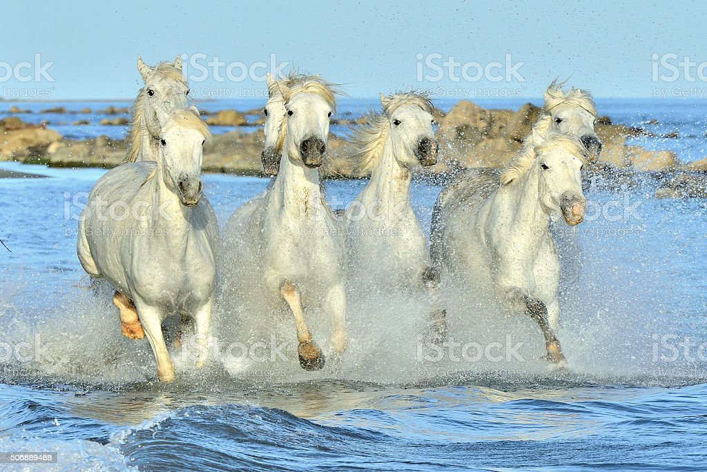 Herd of White Camargue Horses running on the water . stock photo