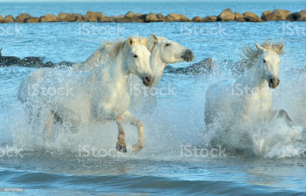 Herd of White Camargue Horses running on the water stock photo