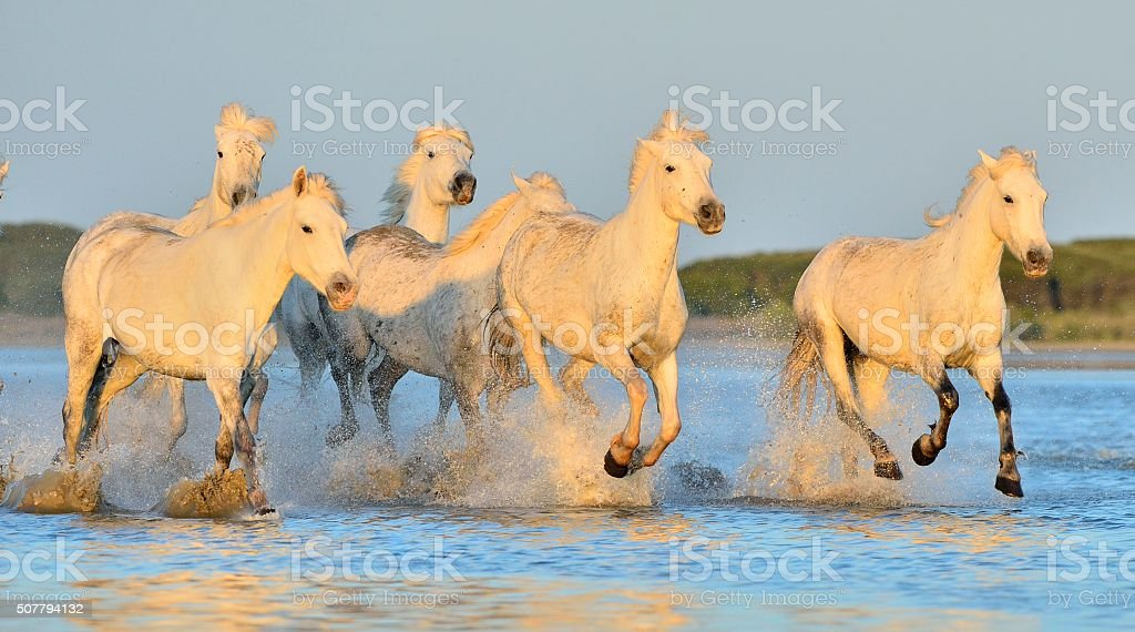 Herd of White Camargue Horses running on the water. stock photo