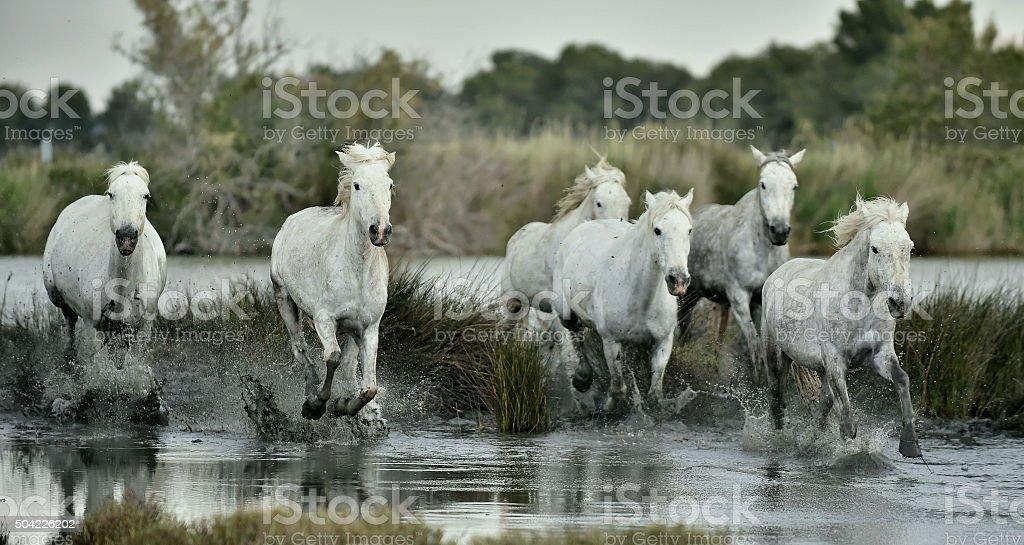 Herd of white horses running through water stock photo