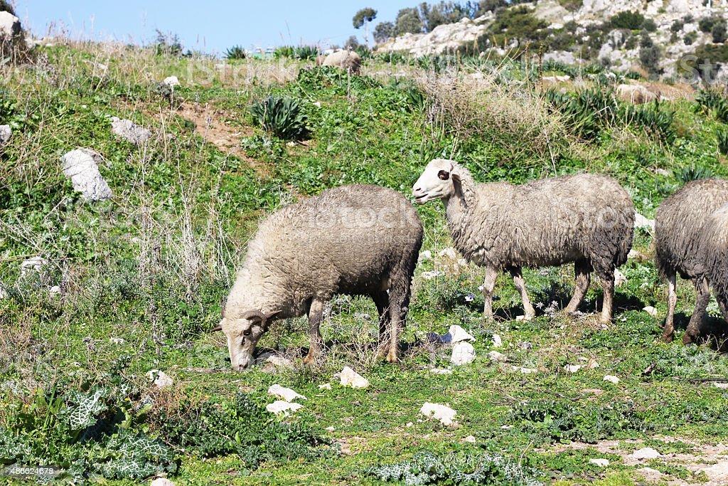 Herd of белая овчина Стоковые фото Стоковая фотография