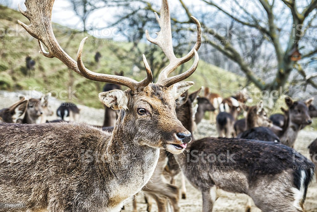 Herd of White Tail Deer Buck During Winter royalty-free stock photo