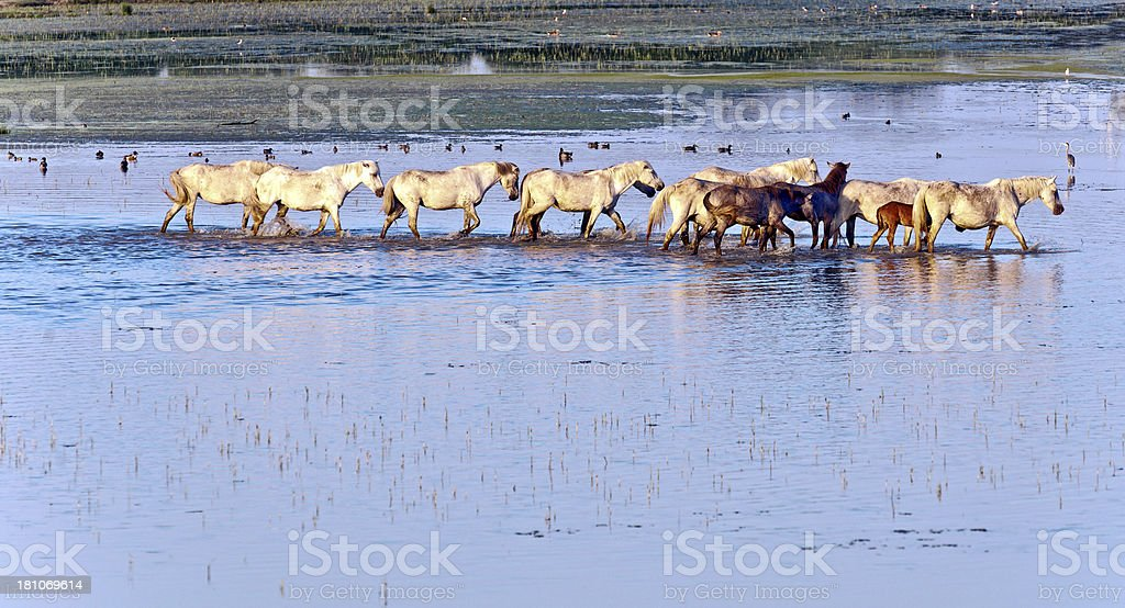 Herd of Wild Camargue Horses Soca River Mouth  Italy royalty-free stock photo