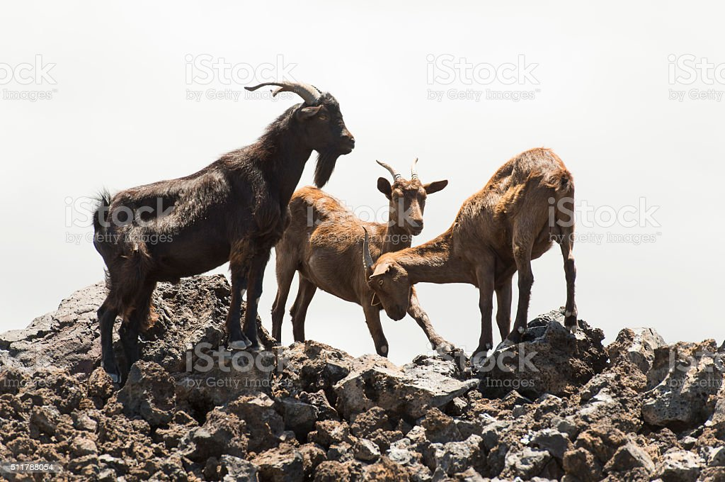 Herd of Wild Goats stock photo