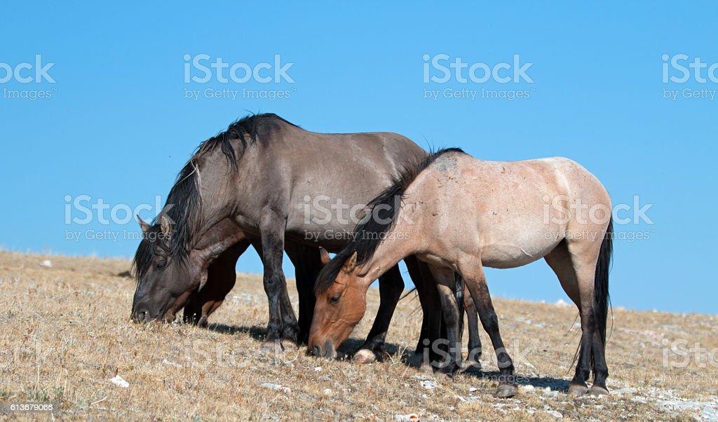 Herd of Wild Horses grazing on Sykes Ridge stock photo